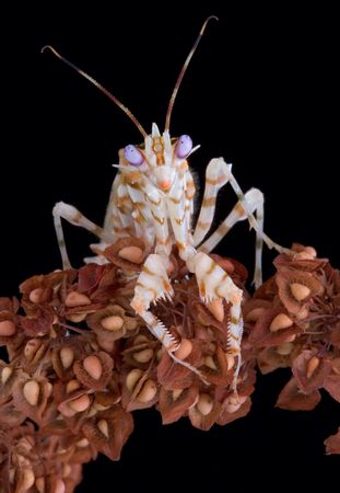 A male spiny mantis is staring straight at the camera.