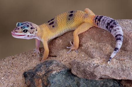 A young gecko is licking its lips while crawling down some rocks.