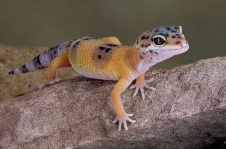 A young leopard gecko is crawling over a rock.
