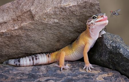 A leopard gecko is watching a fly buzz by.