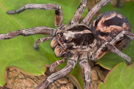 A female wolf spider is crawling over a vine covered tree.