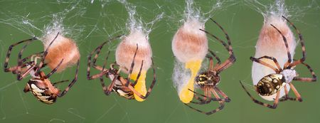 argiope: A series of photos of a black and yellow argiope spider making an egg case.