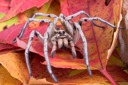 A wolf spider is crawling through colorful fall leaves.