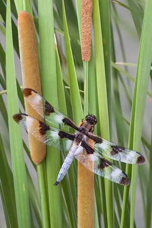 cattails: A dragonfly has landed on some cattails. Stock Photo
