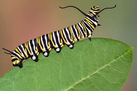A Monarch caterpillar is crawling on a milkweed leaf.