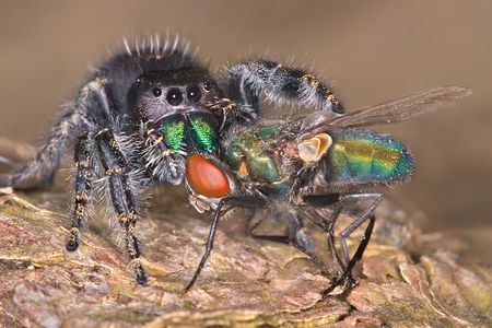 A Jumping spider has his fangs in a fly while sitting on tree bark. Stock Photo