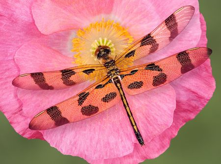 A dragonfly rests on an open poppy. Stock Photo