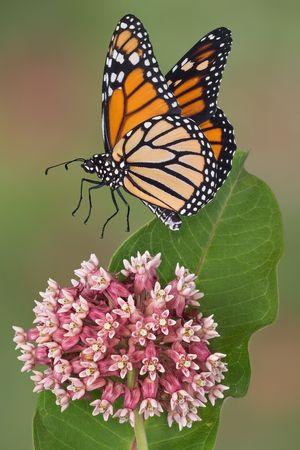 A female monarch is landing on a flowering milkweed.