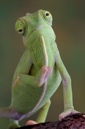 A  veiled chameleon appears to be waving to the camera.
