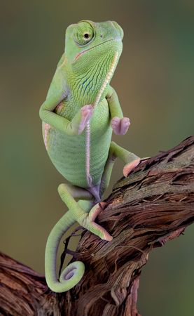 A  veiled chameleon is sitting upright on a vine. Stock Photo - 2666233
