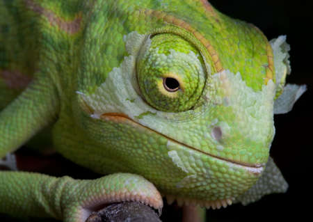 A  veiled chameleon is shedding its skin.