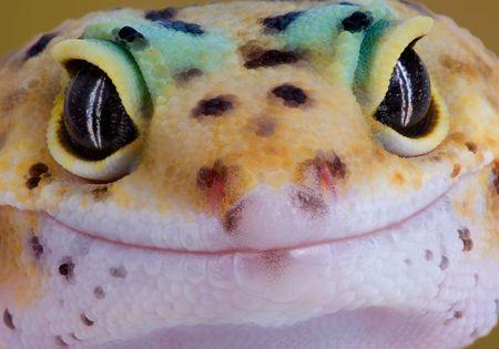 jaszczurka: Młody gekon jest rzucający prosto do kamery. Zdjęcie Seryjne