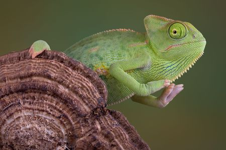 A  veiled chameleon is sitting on a fungus growth. Stock Photo - 2689470