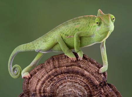 A  veiled chameleon is walking accross a dried fungus growth.