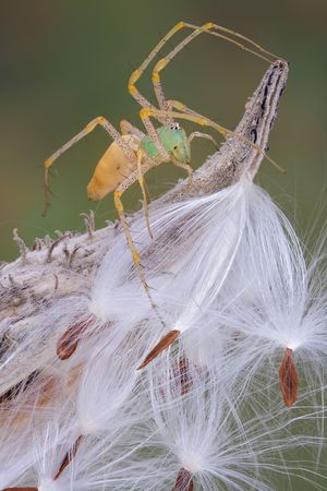 A female green lynx spider is sitting on a milkweed pod. photo