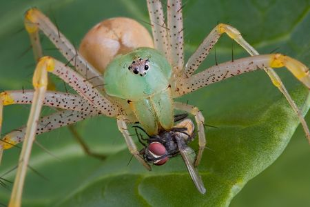A female green lynx spider has her fangs in a fly. photo