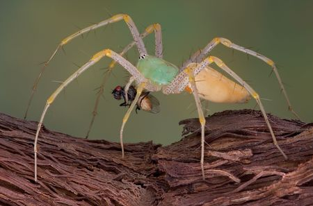 A female green lynx spider is walking over a vine while carrying a fly. photo