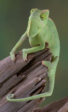 A  veiled chameleon is hanging on to a dead branch. Stock Photo - 2726689