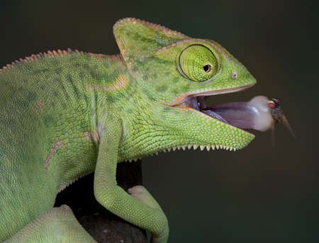 A veiled chameleon has just captured a fly on its tongue.