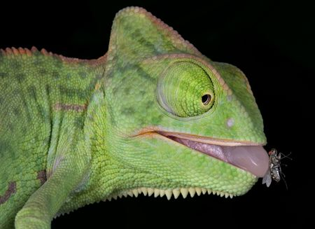 A  veiled chameleon is withdrawing his tongue after catching a fly.