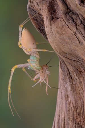 A female green lynx spider is holding a cricket in her fangs. photo