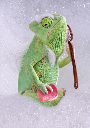 A veiled chameleon is taking a bath.