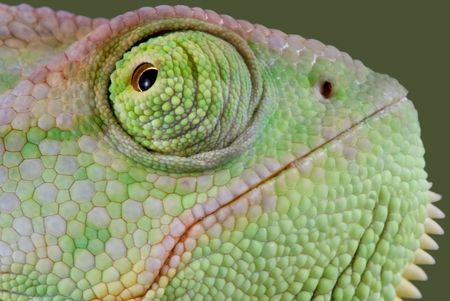 A veiled chameleon is shot close-up. Stock Photo