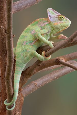 A veiled chameleon is sitting in a tree. Stock Photo