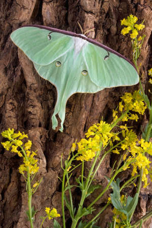 A luna moth is perched on the side of a tree.