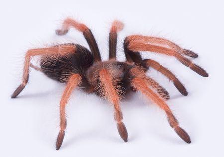 arachnophobia animal bite: A young Mexican fireleg tarantula is shown on a white background.