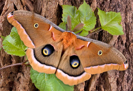 A polyphemus moth is perched on a vine covered tree.