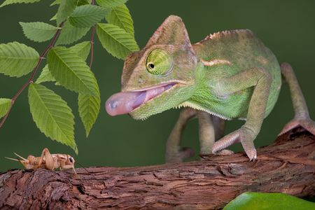 A  veiled chameleon is sticking his tongue out to capture a cricket. Stock Photo