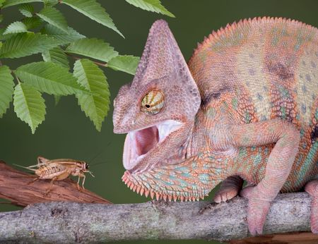 A young veiled chameleon is hissing after being surprised by a cricket. Stock Photo - 3071491