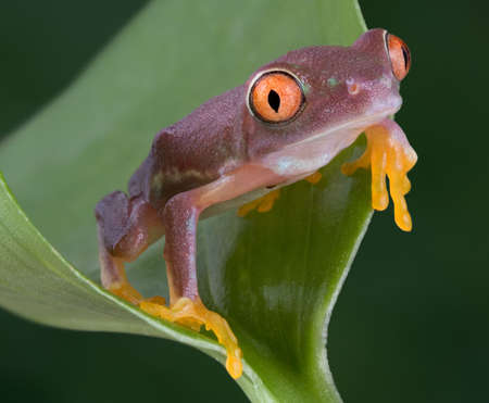 croak: A  red-eyed tree frog has turned a strange color due to the stress of moving to a new home. Stock Photo