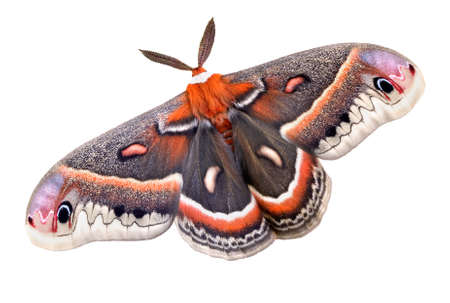 A cecropia moth is shown on a white background.