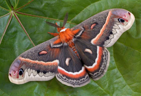 A cecropia moth is sitting on a huge maple leaf.