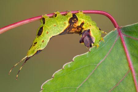 munching: A furcula caterpillar is munching on an aspen leaf.
