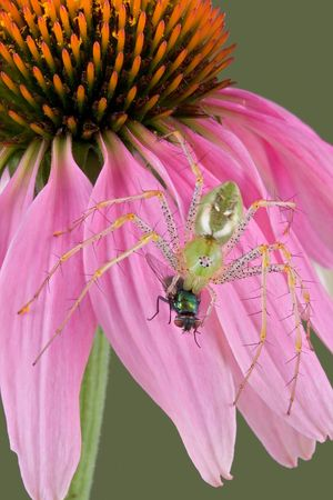 A male green lynx spider has his fangs in a fly while sitting on a coneflower. Stock Photo