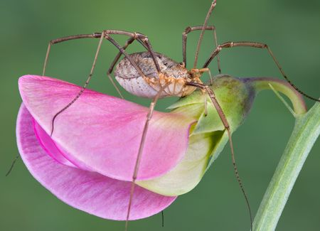 daddy long legs: A daddy long legs is sitting on a pea blossom.