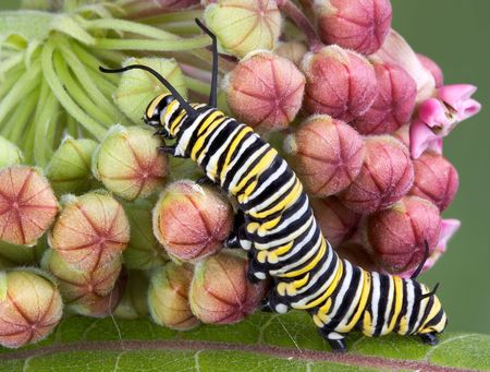 A monarch caterpillar is crawling on a flowering milkweed plant.