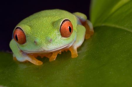 croak: A  red-eyed tree frog is sitting on a leaf.