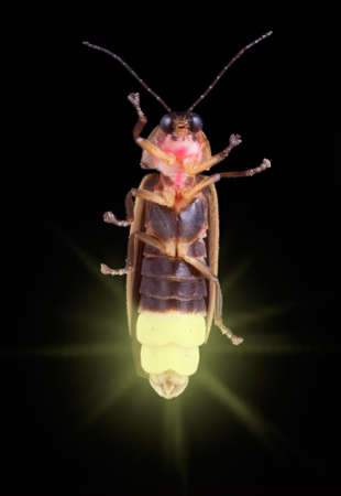 A firefly is glowing in the dark.