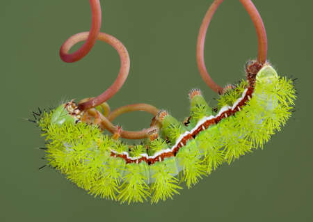 An io moth caterpillar is walking on a vine. Stock Photo