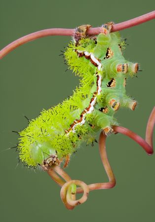 io: An io moth caterpillar is walking on a vine. Stock Photo