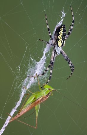 arachnophobia animal bite: An argiope spider is facing her victim, a grasshopper in her web.