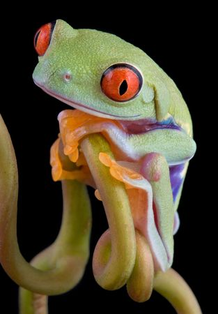 croak: A  red-eyed tree frog is sitting on a vine.
