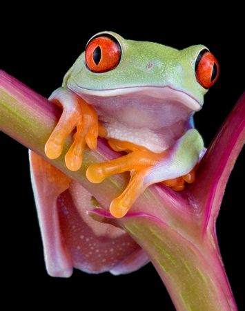 A  red-eyed tree frog is facing the camera for a portrait.