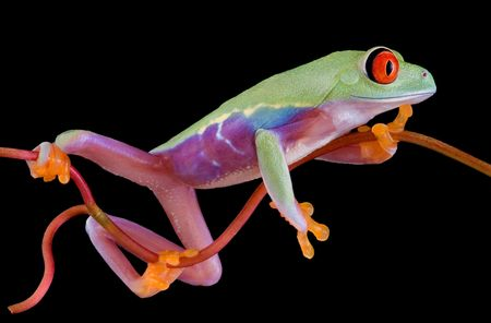 croak: A  red-eyed tree frog is clinging to a narrow vine.