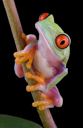 croak: A  red-eyed tree frog is sitting on a plant stem.