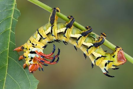 A hickory horned devil caterpillar is munching on a walnut leaf.